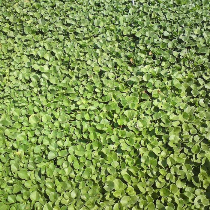 Χλοοτάπητας: 7 ποικιλίες για τον κήπο σου